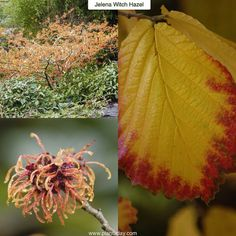 """I Liked this Instagram: Jelena Witch Hazel Hamamelis x intermedia """"Jelena"""" Type: Deciduous Shrub or Tree Exposure: Sun / Part Shade Water: Regular Witch Hazels are prized for their vibrant fall foliage and unique blooms which have been compared to mop heads and shredded coconut. This variety will grow to 12 - 15ft (3.6-4.5m) high and wide with a dramatic spreading growth habit. In autumn the leaves turn a showy orange / red which is followed by the fragrant coppery / orange flowers which…"""