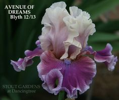 Stout Gardens at Dancingtree - Iris AVENUE OF DREAMS