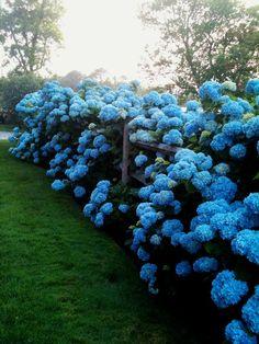 Jardín con hermosas hortencias azules