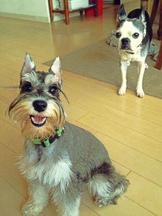 Miniature Schnauzer and Boston terrier