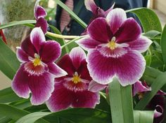 Miltoniopsis, also known as the Pansy Orchid