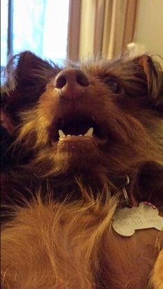 Showing off her pearly whites #dorkie