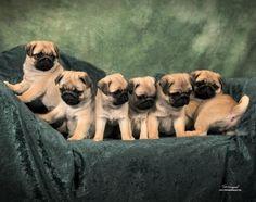 Kelz Pugz - Pug Puppies For Sale, Pug Stud Service, Black Pug Puppies