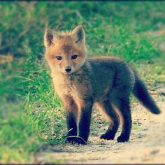 A wee fox cub #wildlife ha ha I did not change the caption on this repost