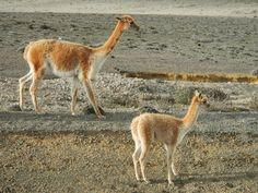 What we Luv...Ecuador... A baby vicuña and its mamma, Chimborazo