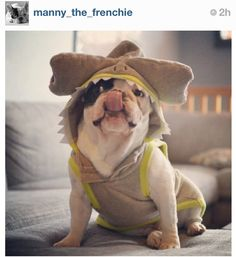 Manny the Frenchie on Instagram!