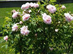 'Martin Frobisher' Rose Photo