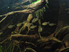 moenkhausia agnesae - In naturalistic biotope tank.