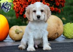 Sarge – Cocker Spaniel Puppies for Sale in PA Spaniel Puppies For Sale, Goldendoodle Puppy For Sale, American Cocker Spaniel, Cocker Spaniel Puppies, Animals And Pets, Cute Animals, Puppy Finder, Buy A Dog, Dog Mixes