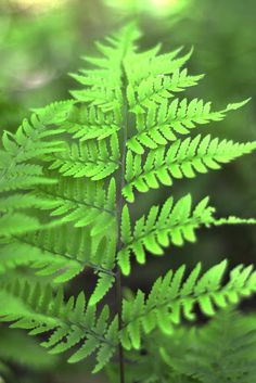 FERN | LIGHT: | Low to medium indirect light | WATER: evenly moist soil with regular watering and humidity. Mist if needed