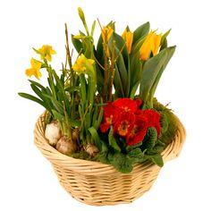 Véritable chant de renouveau, cette coupe de plantes de saison vous donnera une longue période de gaieté et de joie de vivre.  Ses bulbes refleuriront chaque printemps pour la plus grande joie des jardiniers en herbe. Un grand classique à offrir sans hésitation.