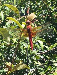 Red dragonfly photo front yard