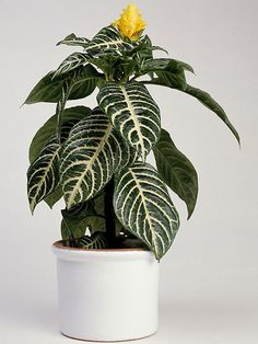 Zebra Plant  Moore recommends this plant for its dramatic foliage and beautiful fall flowers. However, to avoid leaf drop, the zebra does require some attention. With the right care, it will add drama to your home all year round, grow three to four feet and flower every fall.