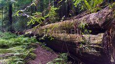 Stock Photo: Fallen Giant Redwood