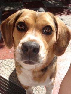 beagle FIGO