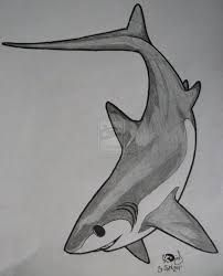Thresher shark tattoo 1 by GleamingGrin on DeviantArt Animal Sketches, Animal Drawings, Art Sketches, Art Drawings, Hai Tattoos, Thresher Shark, Ocean Animal Crafts, Shark Silhouette, Shark Drawing