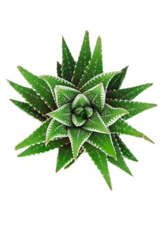"""Haworthia fasciata, native to South Africa, is an upright, slender rosette with tapering incurved dark green leaves covered with silvery white raised """"pearls"""" that connect to form bands that give … Cactus, Photoshop, Wholesale Succulents, Pagoda Garden, Zebra Plant, Tall Plants, Little Plants, Deep Red Color, Black Spot"""