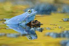 Rana arvalis - Moor Frog