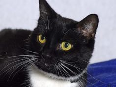 Ethel is an adoptable Domestic Short Hair-Black And White Cat in Indianapolis, IN. My name is Ethel. I am sweet and friendly and I just love attention. I am also relaxed and very calm. I am looking fo...