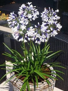 Agapanthus Twister in pot