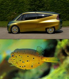 The eminent aerodynamics and efficiency of the form of a boxfish proved to be the base of this 2005 Mercedes-Benz. This very cute streamlined car has a 65% lower drag coefficient than other compact cars that were out at its time.