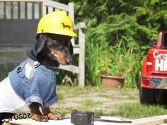Dachshund Facts, Funny Dachshund, Mini Dachshund, Dachshunds, Funny Dogs, Cute Dogs, Cute Animal Memes, Funny Animals, Crusoe The Celebrity Dachshund
