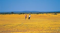 Mullewa, Western Australia -- Wildflowers: a carpet of yellow Everlastings.