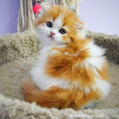 What a beautiful kitty – Cleo Cremer - Baby Animals Cute Fluffy Kittens, Cute Cats And Kittens, Baby Cats, I Love Cats, Kittens Cutest, Cutest Pets, Pretty Cats, Beautiful Cats, Animals Beautiful