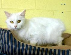 Angel is an adoptable Manx Cat in Greeneville, TN. Angel is a female Manx....