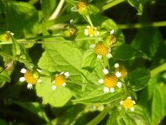 Knopfkraut kleines, Blüten DSCN0920: http://selbstbewusstgesund.de/ernaehrung/essbare-wildkraeuter-34-oktober/#more-4024