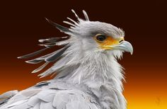 Secretary Bird (Sagittarius serepentarius)