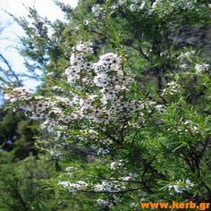 Tea Tree Essential Oil for sale on Trade Me, New Zealand's auction and classifieds website Melaleuca, Tea Tree Essential Oil, Essential Oils, Get Rid Of Ringworm, Eczema Symptoms, Aromatherapy Oils, Pure Products, Outdoor, 100 Pure