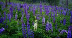 Lupine by Bonnie Cameron - Chronicles of a Love Affair with Nature
