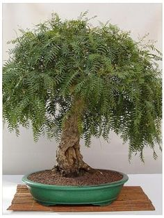 BONSAI Peppercorn tree?                                                                                                                                                      Más