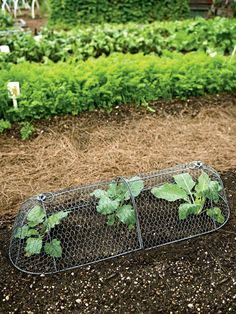 Chicken Wire Cloche Plant Protector, 3-in-1 | Gardeners.com