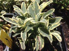 Salvia officinalis 'Variegated Berggarten'   Variegated Berggarten Sage