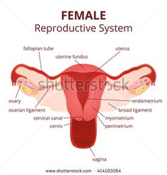 Female Reproductive System: Anatomy and Physiology | Physician ...