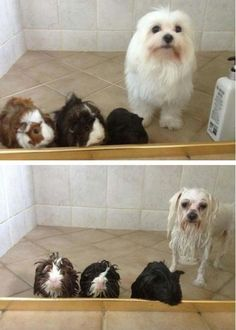 Before, and after bath - Dog and hamsters