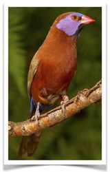 Violet Eared Waxbill Finch - Pairs Only