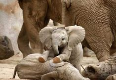 Baby elephants playing..