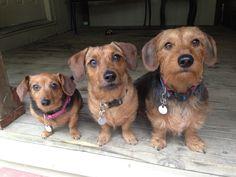 3 tailles de chiens : XXS, XS et Small