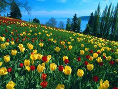 Tulip fields on the German island of Mainau, a beautiful little garden island in the Bodensee.