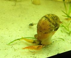 Aquarium snails for your freshwater planted tanks. Freshwater snails are a great addition to creating a nice healthy environment for your . Aquarium Snails, Planted Aquarium, Apple Snail, Shrimp Tank, Healthy Environment, Vegetarian Recipes, Stuffed Peppers, Diet, Fruit