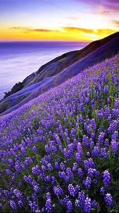 Big Sur, California, USA ~ Purple lupines on the oceanfront cliffs. My first memories of Big Sur were on family vacations as a small child. Beautiful World, Beautiful Places, Beautiful Beautiful, Beautiful Scenery, Landscape Photography, Nature Photography, Travel Photography, Free Photography, Vintage Photography