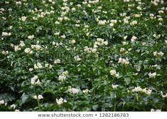 Field Potatoes Closeup: stock fotografie (k okamžité úpravě) 1282186783 Daily Photo, Agriculture, Close Up, Potatoes, Herbs, Drink, Plants, Image, Food