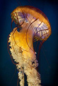 Sea Nettle02 02-28-13   Flickr - Photo Sharing!