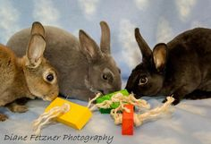 """Meet Sweet Pea, Sugar Bon & Super Snappy, a Petfinder adoptable Mini Rex Rabbit 