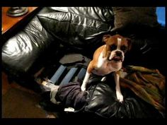 This is why Boxers are so charming. You know she did it. The evidence is clear but she did not flinch when questioned!