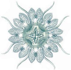 ... Ernst Haeckel, Specimen of jellyfish.