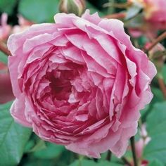 Alan Titchmarsh - David Austin Roses